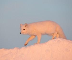 Arctic fox Danny