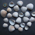 Common cockle shells